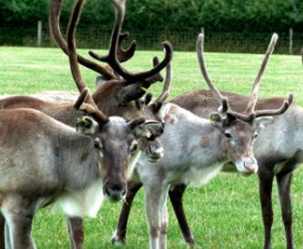 reindeer year
