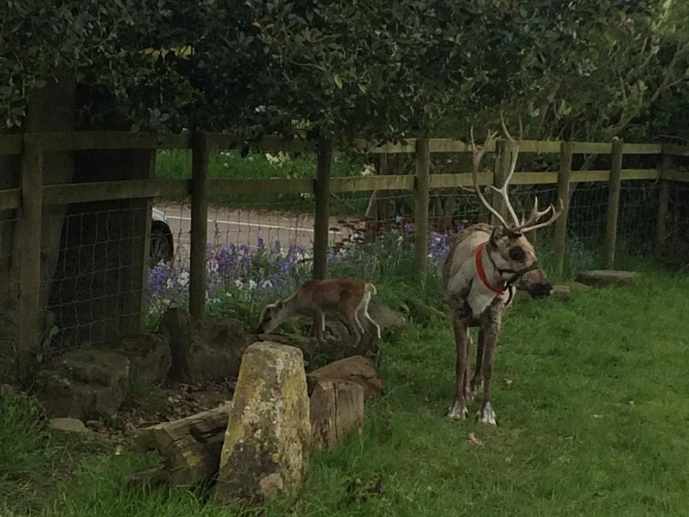 reindeer garden